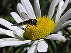 Small striped fly 01.jpg