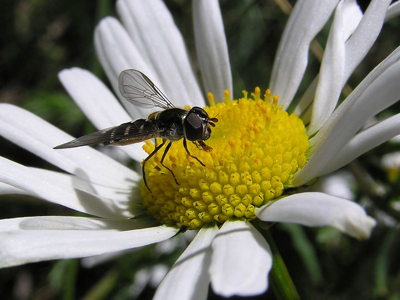 File:Small striped fly 01.jpg