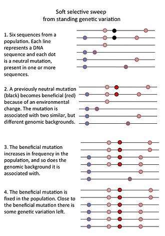 Selective sweep - This is a cartoon drawing of a soft selective sweep from standing genetic variation. It shows the different steps (a neutral mutation becomes beneficial, increases in frequency and fixes in a population) and the effect on nearby genetic variation.