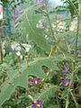 Solanum pyracanthos02.jpg