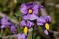 Solanum xanti - Flickr - aspidoscelis.jpg