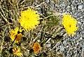 Sonchus arvensis L. (8006717093).jpg