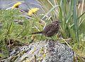 Song Sparrow 829.jpg