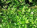 Sorbus arranensis foliage.JPG