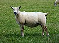 Southdown Sheep breed ? (38896394955).jpg