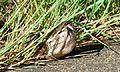 Southern African Python (Python natalensis) (5984536634).jpg