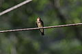 Southern Rough-winged Swallow (Stelgidopteryx ruficollis).jpg