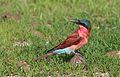 Southern carmine bee-eater, Merops nubicoides, Chobe National Park, Botswana (32421029916).jpg