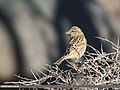 Spanish Sparrow (Passer hispaniolensis) (46574116792).jpg