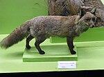 Spanish red fox