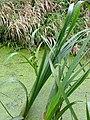 Sparganium erectum 20060914 4.jpg