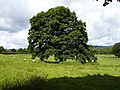 Specimen tree revisited - geograph.org.uk - 489238.jpg