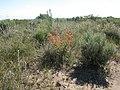 Sphaeralcea munroana (4045834426).jpg