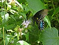 Spicebush Swallowtail Butterfly (19919804491).jpg