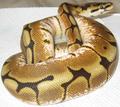Spider Morph Ball Python.png