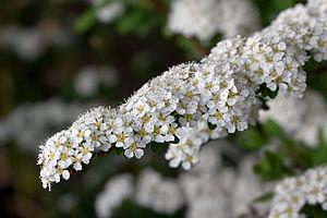 English: Spiraea × arguta (S. × multiflora × S...