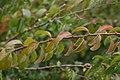 Spiraea prunifolia Plena 1zz.jpg