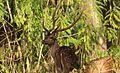 Spotted Deer Male(Chital).jpg