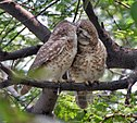 Spotted Owlet (Athene brama)- Pair in Foreplay at Bharatpur I IMG 5473.jpg
