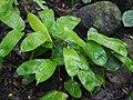Stachyphrynium spicatum (Roxb.) K.Schum. (20760042914).jpg