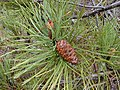 Starr-010515-0121-Pinus pinaster-cone and leaves-Hosmers Grove HNP-Maui (24164850169).jpg
