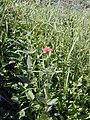 Starr-020112-0010-Zinnia peruviana-habit-NHPS Hibiscus brackenridgei excl Waikapu-Maui (23917453584).jpg