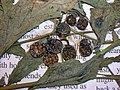 Starr-050427-0753-Solanum americanum-voucher 050406 3-Alau-Maui (24721121786).jpg