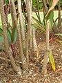 Starr-060916-8966-Cordyline fruticosa-stems-Makawao-Maui (24771986051).jpg