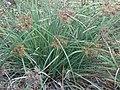 Starr-061106-1425-Cyperus javanicus-habit-Maui Nui Botanical Garden-Maui (24774908771).jpg