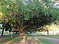 Starr-070727-7612-Conocarpus erectus-habit-Ala Moana Beach Park-Oahu (24522464249).jpg