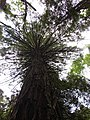 Starr-090521-8372-Sequoia sempervirens-canopy-Polipoli-Maui (24329553833).jpg