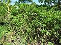 Starr-091104-0746-Lipochaeta succulenta-habit-Kahanu Gardens NTBG Kaeleku Hana-Maui (24961210636).jpg
