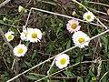 Starr-100401-4289-Erigeron karvinskianus-flowers-Polipoli-Maui (25027433055).jpg