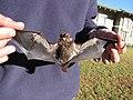 Starr-100907-9058-Eucalyptus sp-habitat with Hawaiian hoary bat Lasiurus cinereus semotus-Olinda-Maui (24933279662).jpg