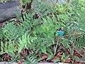 Starr-110307-2906-Diplazium esculentum-habit-Kula Botanical Garden-Maui (25078994645).jpg