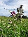 Starr-110405-4815-Vicia sativa subsp nigra-flowers and leaves with Kim-Kula-Maui (24989007911).jpg
