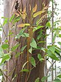 Starr-110722-7212-Eucalyptus saligna-bark and leaves-Waihee Ridge Trail-Maui (25100681825).jpg