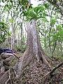 Starr-120425-4784-Toona ciliata-habit with Jeremy-Waikapu Valley-Maui (24509001824).jpg
