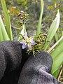 Starr-120425-4846-Dianella sandwicensis-form multipedicellata-Waikapu Valley-Maui (25021513602).jpg