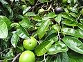 Starr-130312-2248-Chrysophyllum cainito-canopy fruit and leaves-Pali o Waipio Huelo-Maui (25180690886).jpg