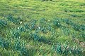 Starr-990107-3127-Narcissus tazetta-habit-Polipoli-Maui (24499087106).jpg