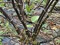 Starr 021122-0036 Piper methysticum.jpg
