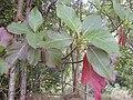 Starr 030405-0083 Cinchona pubescens.jpg