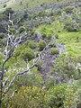 Starr 040731-0064 Bidens micrantha subsp. kalealaha.jpg