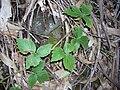 Starr 041211-1311 Rubus macraei.jpg