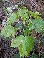 Starr 041229-2740 Hibiscus brackenridgei subsp. brackenridgei.jpg