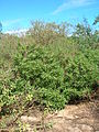 Starr 060305-6523 Myoporum sandwicense.jpg