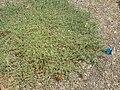 Starr 060922-9180 Chenopodium oahuense.jpg