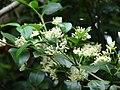 Starr 061105-1331 Psydrax odorata.jpg