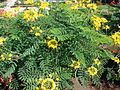 Starr 061111-1546 Caesalpinia pulcherrima.jpg